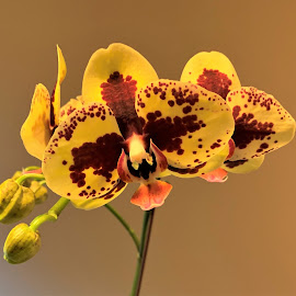 Phalaenopsis Orchid by Carol Leynard - Instagram & Mobile iPhone ( moth orchid, yellow, phalaenopsis orchid, orchid, potted flower, flower )