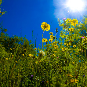 Wildflower by Victor Mukherjee - Nature Up Close Leaves & Grasses ( wild, nature, grass, summer, italy, flower, sun )