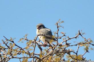 Photo: A Pygmy Falcon (Polihierax semitorquatus) (Afrikaans: Dwergvalk) in the Mokala National Park in South Africa 1. #birdloversworldwide +BIRD LOVERS Worldwide curated by +Robert SKREINER 2. #hqspbirds +HQSP Birds curated by +Marina Versaci 3. #birdsinfocus #birdspecieslink +Birds in Focus curated by +Risto Talman 4. #Birds4All +Birds4All curated by +Walter Soestbergen 5. #birdsofpreysunday +Birds Of Prey Sunday curated by +Jeffrey Van Daele 6. #10000photographersaroundtheworld +10000 PHOTOGRAPHERS around the World curated by +Robert SKREINER 7. #pixelworld +PixelWorld curated by +Alberto Carreras 8. #plusphotoextract curated by +Jarek Klimek 9. #nikonshooters