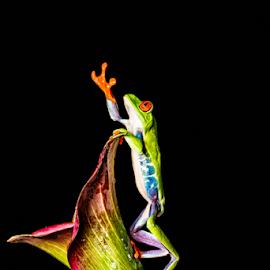 Tree frog by Garry Chisholm - Animals Amphibians ( sigma, macro, nature, workshop, amohibian, red eyed tree frog, canon, garry chisholm )