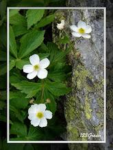 Photo: Renoncule à feuilles d'aconit, Ranunculus aconitifolius
