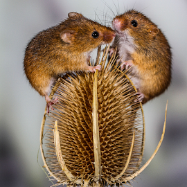 Double trouble by Garry Chisholm - Animals Other Mammals ( mouse, nature, teasel, rodent, harvest mice, garry chisholm )