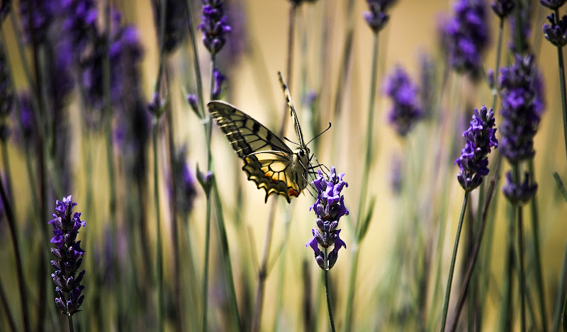 Butterfly di marco_ridolfi