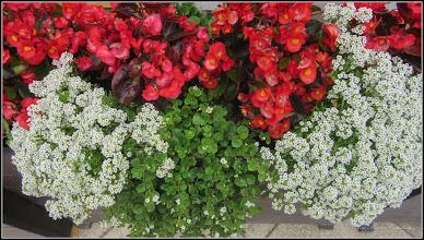 Photo: Piata Republicii, aranjament florar,  cred ca : petunii, Barbisoara alba (Lobularia maritima)  si Asarina procumbens Mill  (asa o fi ?)  - 2018.06.22
