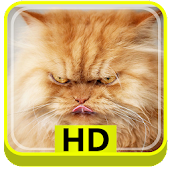 Persian Cats HD