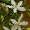 Dyer's oleander