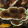 Thin Walled Maze Polypore