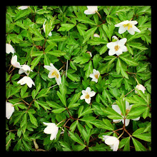 Photo: Wood anemone, a cluster.