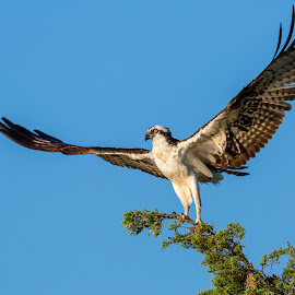 Osprey by Carl Albro - Animals Birds ( bird of prey, wings, raptor, hawks and eagles, osprey )