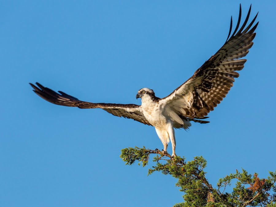 Osprey by Carl Albro - Animals Birds ( bird of prey, wings, raptor, hawks and eagles, osprey )