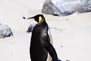 The king penguin takes a backwards look at Buffels Bay near Cape Point on Wednesday.