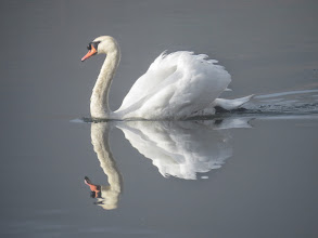 Photo: Priorslee Lake The cob Swan almost perfectly reflected as it prepares to do battle. (Ed Wilson)