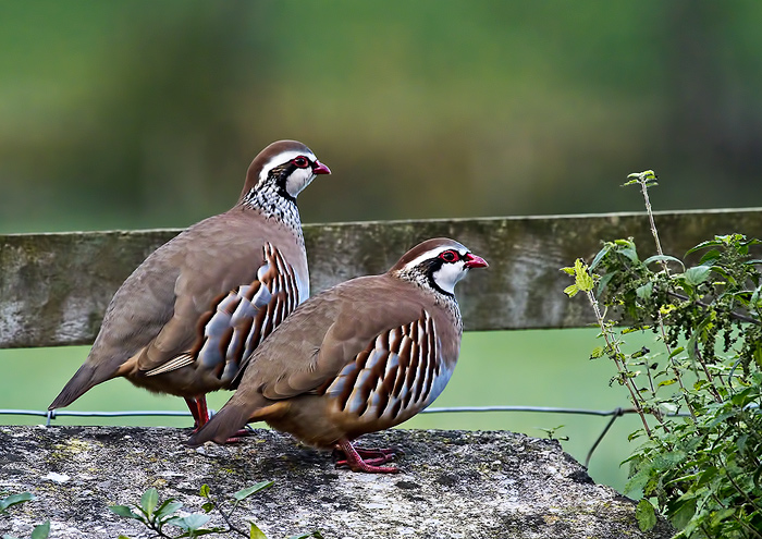 Photo: Red Legged Partridges - Somerset, UK