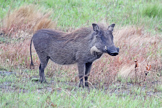 Photo: Common Warthog
