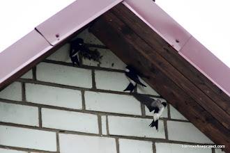 Photo: House martins nest building