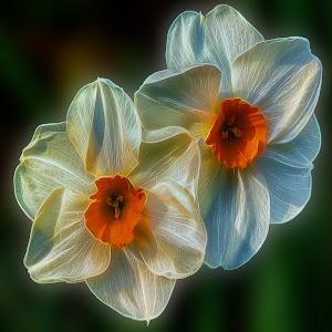 daffodils8x8.jpg
