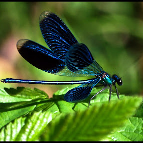 Dragonfly by Mirna Abaffy - Animals Insects & Spiders ( animal dragonfly macro )