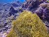 Top. Dive Sites, Kri Island, Raja Ampat, Papua. Clown Anemonefish