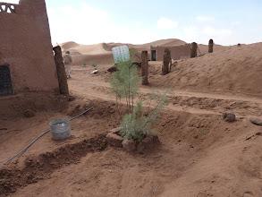 Photo: Tamarisk grafts that survived the long hot summer. Oktober 2011.