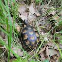 Hermann's tortoise (Μεσογειακή Χελώνα)
