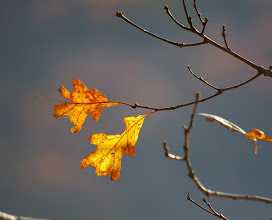 Photo: Oak leaves