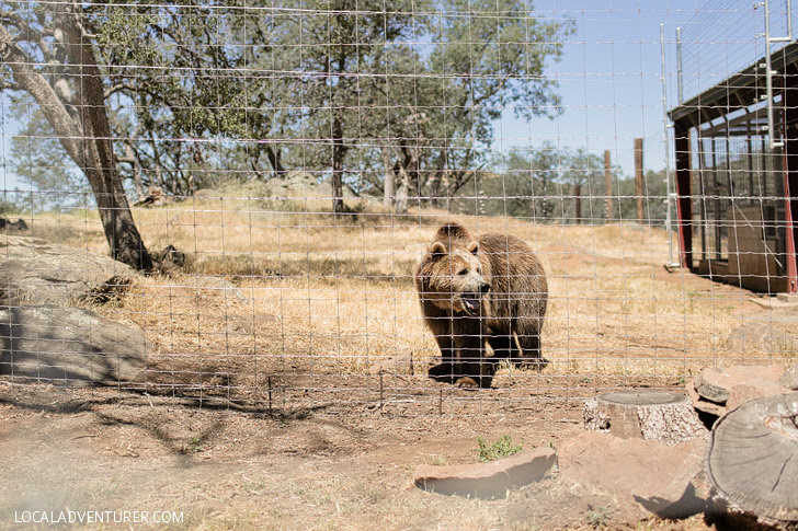 Bear Rescue at Lions Tigers and Bears Alpine CA.
