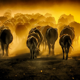 by Milanka Dimic - Animals Other ( nature, light, cows, animals, herd )