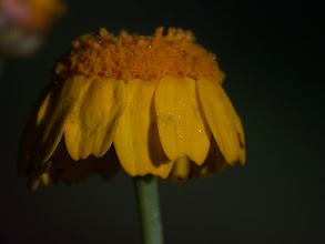 Photo: Chrysanthemum segetum