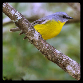 Yellow robin by Amanda Daly - Novices Only Wildlife (  )