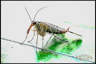 """Photo: Insekt des Jahres 2018 Das Weibchen der harmlosen Gattung der Skorpionfliege (Panorpa communis). Kann die Skorpionsfliege stechen? Nein, sie ist harmlos! Was wie ein Stachel aussieht, ist das Geschlechtsorgan des Männchens mit dem es das Weibchen befruchtet, um Nachwuchs zu zeugen.  Und wozu braucht das Tier so einen langen Kopf? Die Schnabel-Form ist beim Fressen praktisch. """"Skorpionsfliegen ernähren sich unter anderem von toten Insekten.  mit Handykamera fotografiert  Naturfotografie: http://goo.gl/ITvFrA"""