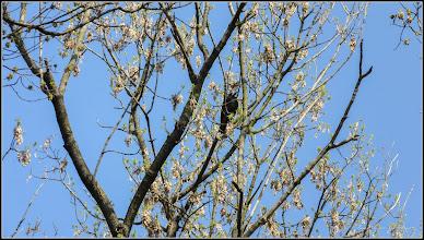 Photo: Artar - Paltin de munte (Acer pseudoplatanus)  - 2017.03.24