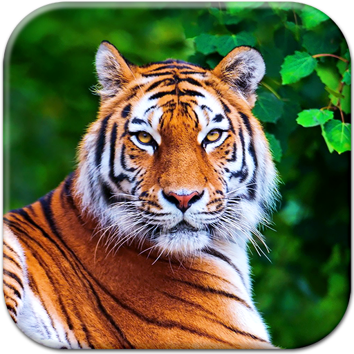 Tiger Live Wallpaper Icon