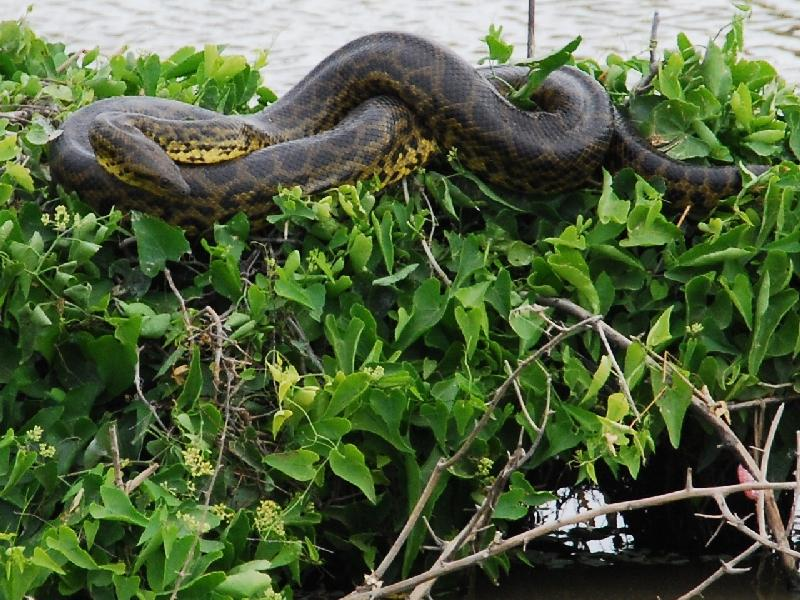 Image result for yellow anaconda eating