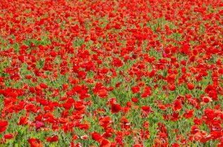 Photo: Red Poppies-a Sea of Color