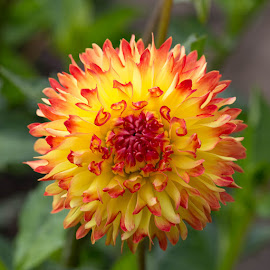 by Janet Marsh - Flowers Single Flower ( dahlia )