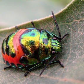 Jewel Beetle by Anurag Bhateja - Animals Insects & Spiders ( super macro, bug, jewel beetle, insect )
