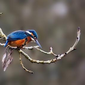 kingfisher by Darren Maud - Animals Birds