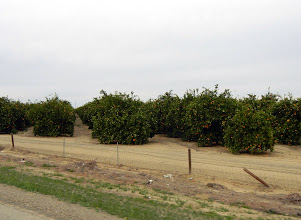 Photo: Orange tree groves views off of I-5 in SoCal
