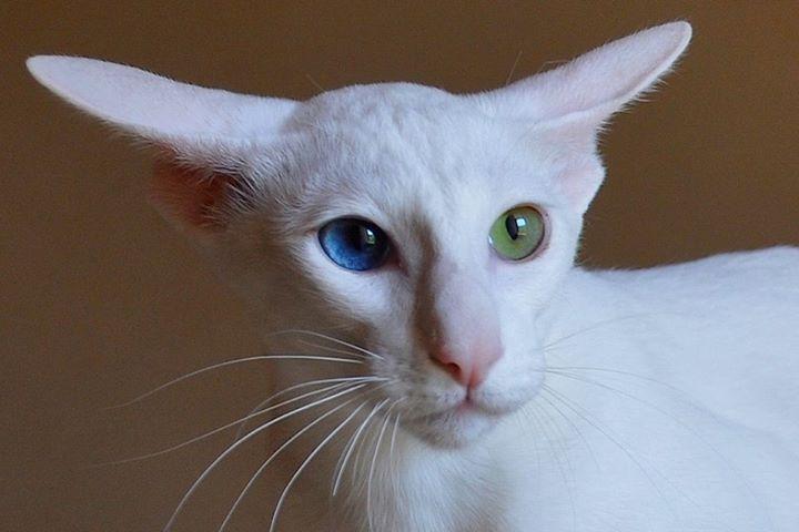 Кошка породы ориентал