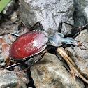 Snail-killer Carabid
