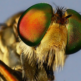 my face by Girdan Nasution - Animals Insects & Spiders ( #makro #insect #robberfly #face )