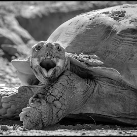 Land Tortoise by Dave Lipchen - Black & White Animals ( land tortoise )