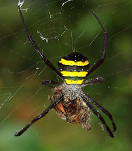 Photo: Signature spider feeding on a dead moth