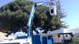 La empresa concesionaria de control de plagas en árboles trabaja en un ejemplar en Huércal de Almería