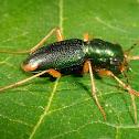 Metallic tiger beetle