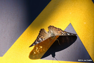 Photo: Go camping, with a Hackberry Emperor.