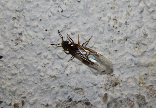Photo: Hymenoptera > Formicidae