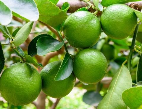 Bearss Lime Tree (Persian Lime Tree)