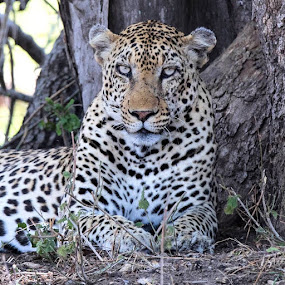 Male Leopard S125 by Sheila Grobbelaar - Animals Lions, Tigers & Big Cats ( kruger )