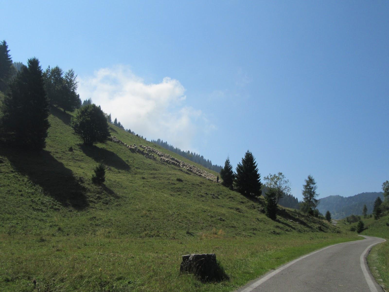 Climbing Monte Grappa from Possagno  by bike - grazing sheep near road